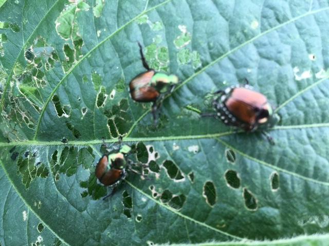 Jap beetles 1