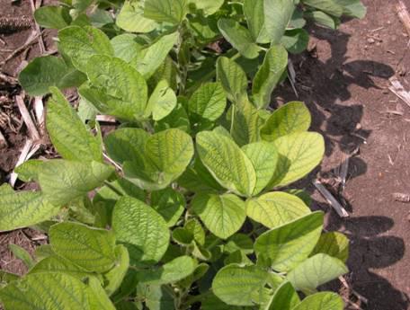 Manganese deficiency-courtesy of Purdue University