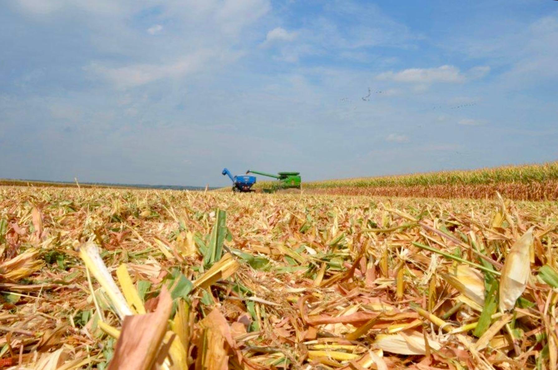 Corn Stalks with Combine